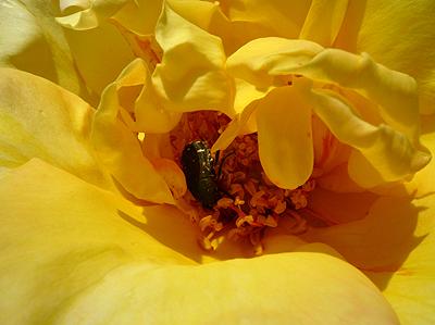 父のバラがきれいに咲きました